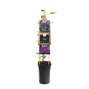 Paarse bosrank (Clematis The President) klimplant - 70 cm - 1 stuks
