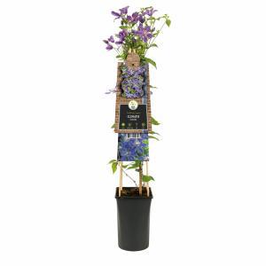 Blauwe bosrank (Clematis Arabella) klimplant