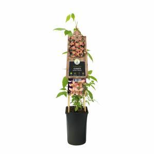 Roze bosrank (Clematis montana Marjorie) klimplant