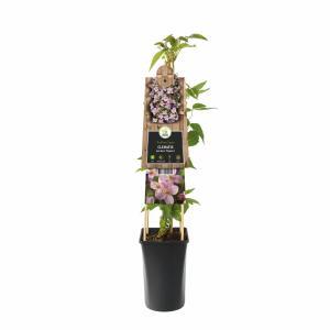 Roze bosrank (Clematis montana Mayleen) klimplant
