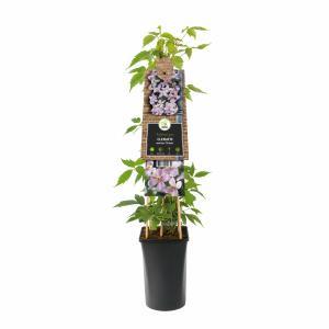 Roze bosrank (Clematis montana Rubens) klimplant - 70 cm - 1 stuks