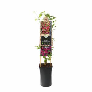 "Rode bosrank (Clematis viticella ""Madame Julia Correvon"") klimplant"
