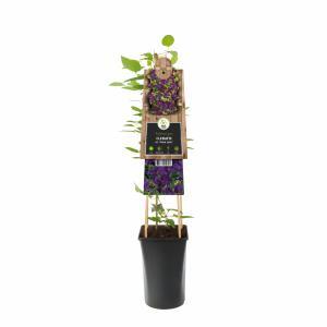 "Paarse bosrank (Clematis viticella ""Polish Spirit"") klimplant"