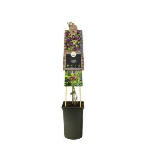 Schijnaugurk (Akebia quinata) klimplant