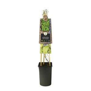 Duitse pijp (Aristolochia durior macrophylla) klimplant