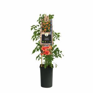 "Oranje trompetbloem (Campsis tagliabuana ""Madame Galen"") klimplant"