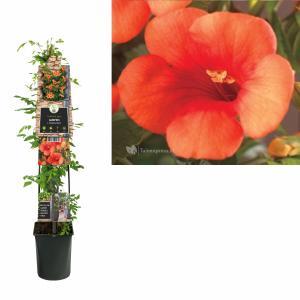 Oranje trompetbloem (Campsis tagliabuana Madame Galen) klimplant - 120 cm - 1 stuks