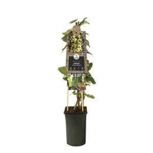 Korting Bonte klimop (Hedera Gloire de Marengo ) klimplant