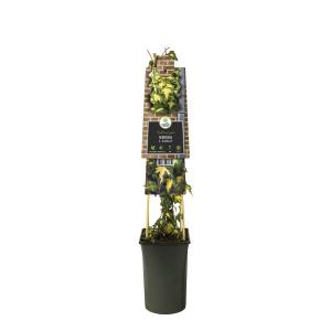 "Bonte klimop (Hedera helix ""Goldheart"") klimplant"