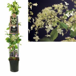 Korting Klimhortensia (Hydrangea anomala Petiolaris ) klimplant 120 cm 1 stuks