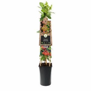 """Oranjerode kamperfoelie (Lonicera """"Dropmore Scarlet"""") klimplant"""