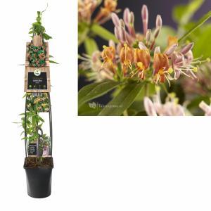"""Roze kamperfoelie (Lonicera """"Henryi"""") klimplant - 120 cm - 1 stuks"""