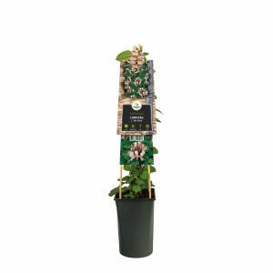 "Japanse kamperfoelie (Lonicera Japonica ""Red World"") klimplant"