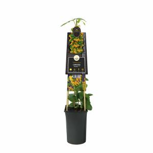 Korting Oranjegele kamperfoelie (Lonicera Mandarin PBR) klimplant