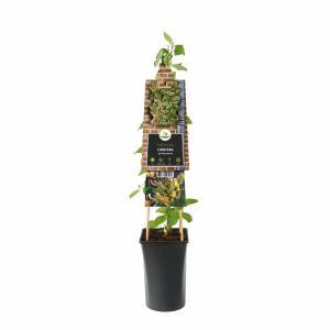 Wilde kamperfoelie wit (Lonicera periclymenum) klimplant