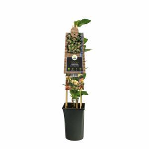 """Wilde kamperfoelie roze (Lonicera periclymenum """"Belgica Select"""") klimplant"""