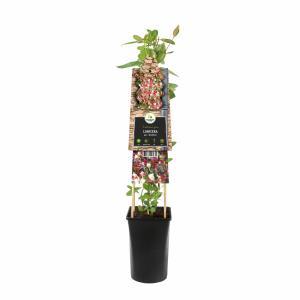 Korting Wilde kamperfoelie rood (Lonicera periclymenum Serotina ) klimplant
