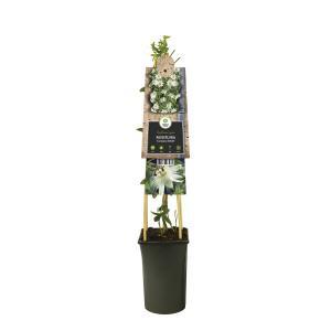Witte passiebloem (Passiflora caerulea Constance Elliot) klimplant