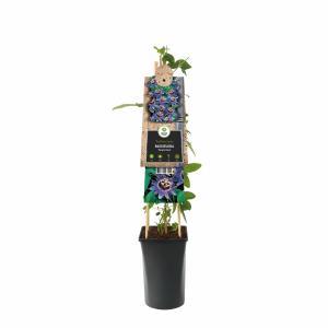 """Paarse passiebloem (Passiflora """"Purple Haze"""") klimplant"""