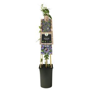 Korting Paarse passiebloem (Passiflora Purple Rain ) klimplant