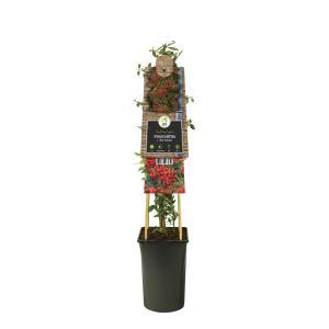 "Vuurdoorn (Pyracantha coccinea ""Red Column"") klimplant"
