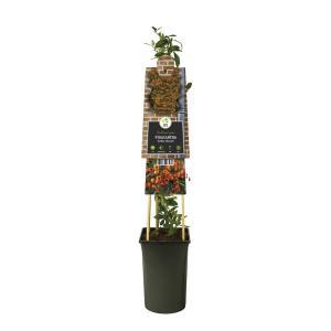 Vuurdoorn (Pyracantha Golden Charmer) klimplant