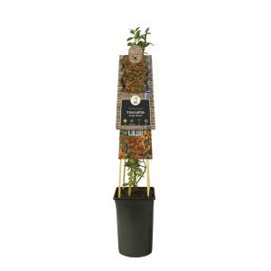 Vuurdoorn (Pyracantha Orange Charmer) klimplant