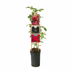 "Klimroos (Rosa ""Heidelberg"") klimplant"