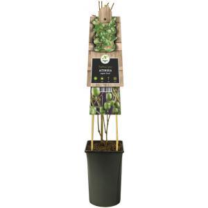 """Mini kiwi (Actinidia arguta """"Issai"""") klimplant"""