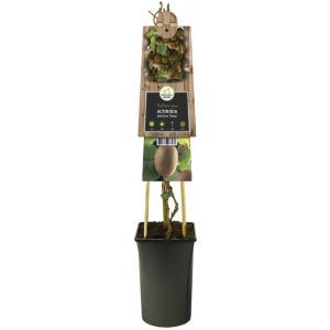 "Kiwi (zelfbestuivend) (Actinidia deliciosa ""Jenny"") klimplant"