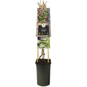 Sierkiwi (Actinidia kolomikt) klimplant