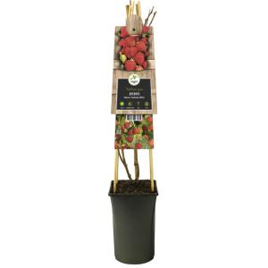 "Framboos (Rubus idaeus ""Autumn Bliss"") klimplant"