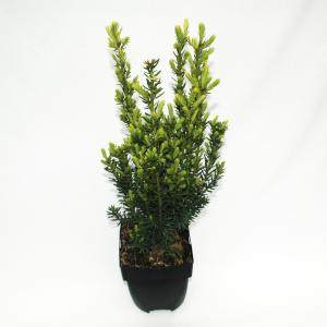 "Taxus (Taxus media ""Hillii"") conifeer"