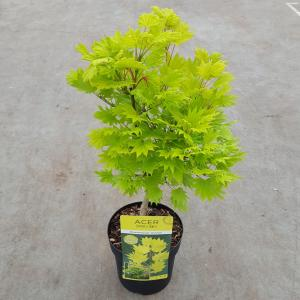 "Japanse esdoorn (Acer shirasawanum ""Aureum"") heester"