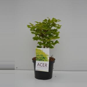 Japanse esdoorn (Acer shirasawanum Aureum) heester - 30-40 cm - 1 stuks