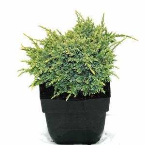 """Jeneverbes (Juniperus squamata """"Holger"""") conifeer"""