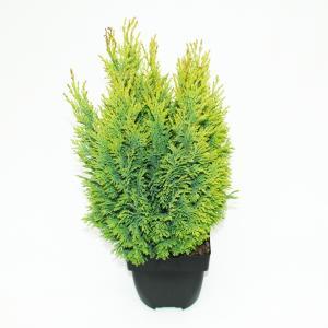 "Schijncipres (Chamaecyparis lawsoniana ""Ellwoodii Empire"") conifeer"