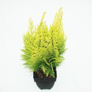 "Schijncipres (Chamaecyparis lawsoniana ""Ivonne"") conifeer"