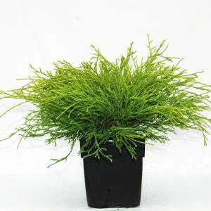 Korting Schijncipres (Chamaecyparis pisifera Filifera Aurea ) conifeer