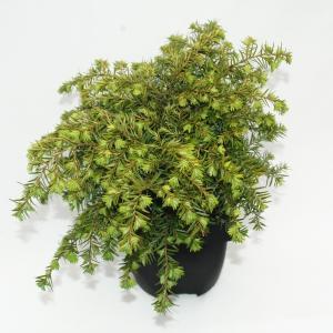"Hemlockspar (Tsuga Canadensis ""Nana"") conifeer"