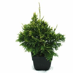 """Reuzenlevensboom (Thuja plicata """"Can-Can"""") conifeer"""
