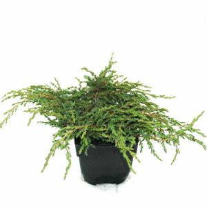 "Kruipende jeneverbes (Juniperus communis ""Repanda"") conifeer"