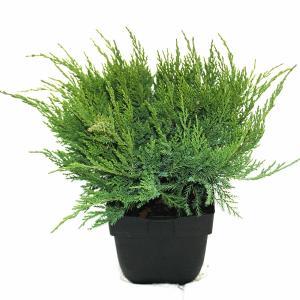 "Jeneverbes (Juniperus media ""Mint Julep"") conifeer"