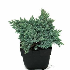 "Jeneverbes (Juniperus squamata ""Blue Star"") conifeer"