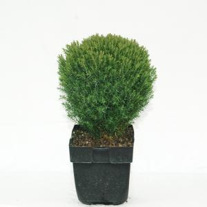 "Westerse levensboom (Thuja occidentalis ""Teddy"") conifeer"