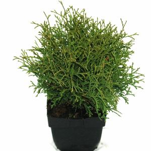 Westerse levensboom (Thuja occidentalis Tiny Tim) conifeer