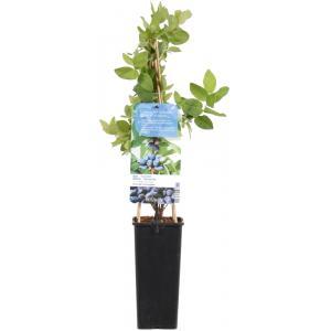 "Blauwe honingbes C2 (lonicera caerulea ""Kamtschatica"") fruitplanten"