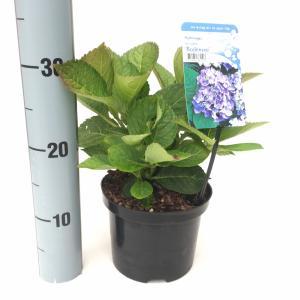 "Hydrangea Macrophylla ""Bodensee"" boerenhortensia"