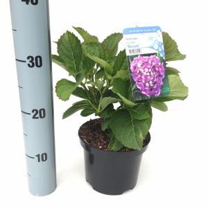 Hydrangea Macrophylla Renate boerenhortensia