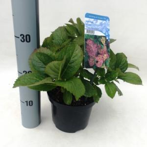 """Hydrangea Macrophylla """"Freudenstein"""" boerenhortensia"""